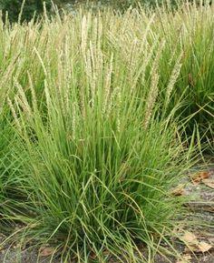 Autumn moor grass, Sesleria autumnalis