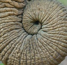 elephant trunk, also wanted to show you a new amazing weight loss product sponsored by Pinterest! It worked for me and I didnt even change my diet! I lost like 16 pounds. Here is where I got it from cutsix.com