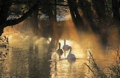Autumn colours: Swans glide through the mist rising from the River Avon in Malmesbury, Wiltshire, as a frost was seen in parts of the countr...