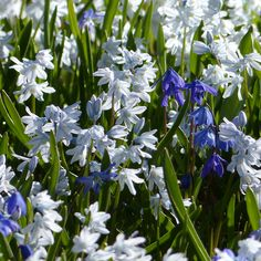 These pretty blue flowers have naturalized throughout the grass here.