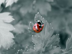 Ladybug black & white background