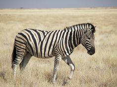 Pet a zebra.