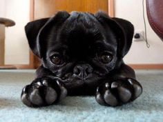 Cocoa aged 4 months, UK (found on I Love Pugs Facebook page) I love those paws!
