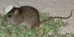 The Bramble Cay melomys or mosaic-tailed rat. Endemic to the Great Barrier Reef this is the first mammal to go extinct due to human-induced climate change [900 x 450] - http://ift.tt/1U7Udlu