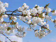 7 best spring flowering trees images on pinterest garden trees prunus shirotae mount fuji cherry truly spectacular small tree with spring flowering treesspring flowerswhite mightylinksfo