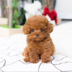 Cute Funny Animals, Cute Baby Animals, Cute Puppies, Cute Dogs, Cute Teacup Puppies, Teacup Dogs, Toy Poodle Puppies, Teacup Puppy Breeds, Red Poodle Puppy