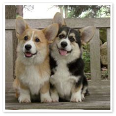 Too Cute Corgis | Found on Uploaded by user