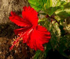 National Flowers of World Countries.. Fiji ( Hibiscus ) www.facebook.com/flowerofworld www.flowerhomes.blogspot.com