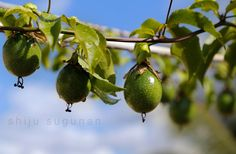 Cranium Bolts: Waiting for Passion fruit to ripen