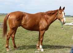 Does this flashy gelding have what it takes to be a top eventer? Learn how to spot talent at the racetrack with this fun series... http://eventingconnect.today/2016/09/29/asssesing-whether-an-ottb-will-make-a-good-eventing-prospect-imply/