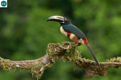 https://www.facebook.com/THI%C3%8AN-NHI%C3%8AN-K%E1%BB%B2-TH%C3%9A-171150349611448/timeline/ Chim Toucan nhỏ Araçari vòng cổ (đỏ); Họ Ramphastidae; Trung và Nam Mỹ | Collared araçari (Pteroglossus torquatus) IUCN Red List of Threatened Species 3.1 : Least Concern (LC)(Loài ít quan tâm)