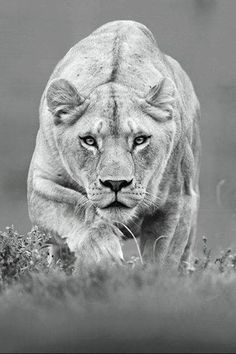 28 inspirational ideas for black and white photography animals lion Tier Wallpaper, Animal Wallpaper, Mobile Wallpaper, Beautiful Cats, Animals Beautiful, Beautiful Creatures, Fotografia Pb, Chat Lion, Animals And Pets
