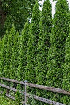 Image result for trees for privacy around pool