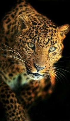 Photo about Winter leopard in its natural habitat. Image of mammal, proud, animals - 28701007 Big Cats, Cute Cats, Cats And Kittens, Jaguar, Beautiful Cats, Animals Beautiful, Animals And Pets, Cute Animals, Gato Grande