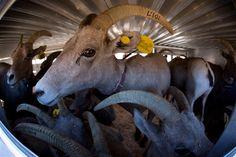 Captured Nevada bighorn sheep to boost herds in Utah (Julie Jacobson / AP)