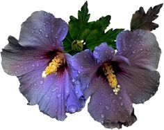 Gifs, imagens e efeitos: Tube-flores -4
