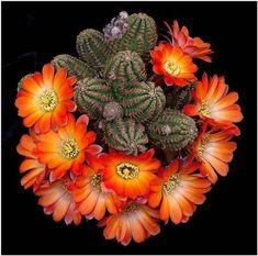 Cacti And Succulents, Planting Succulents, Planting Flowers, Cactus Planta, Cactus Y Suculentas, Unusual Plants, Exotic Plants, Cactus Pictures, Cactus Blossoms