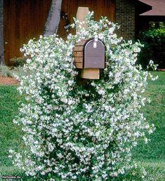 Confederate Jasmine (Trachelospermum jasminoides)