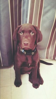 "Anakin Skywalker - Chocolate lab My favorite ""little turd"" ♡ He is definitely a handful! #littleturd #puppies"