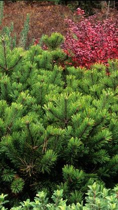 Another image of Pinus Mugo Kobold for front of evergreen woodland garden.. https://www.paramountplants.co.uk/large-image/pmk/pinus-mugo-kobold.html