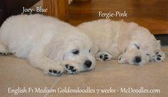Goldendoodles 7 weeks old.  English Medium F1 Goldendoodles.