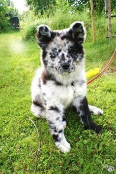 This unique dog is a merle (a gene that creates mottled patches of color).