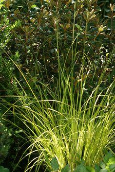 Carex elata 'Aurea' - keltapiukkasara