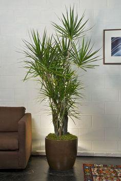 Houston's online indoor plant & pot store - Marginata, Dragon Tree