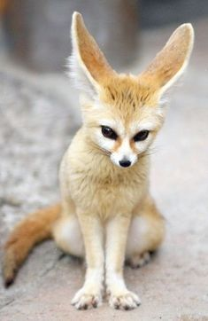 Fennec fox (Vulpes zerda). Possibly the cutest animal on Earth but I wouldn't want one for a pet. An undomesticated nocturnal desert animal with finnicky eating habits probably wouldn't make a good household pet regardless of how cute it is.
