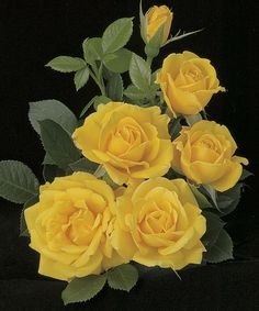 Take a look at the Shockwave Rose Plant on #zulily today!