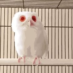 tenaflyviper:    werewolfstripclub:    gifsboom:    Red Eyed Albino Owl     Is this a fairy    Whatever it is, it's clearly ancient and powerful.  Also cute and fluffy.    (via aliceapproved)