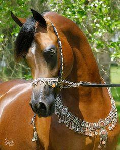 QR Marc, Arabian stallion,  in Custom  Arabian Fancy tack