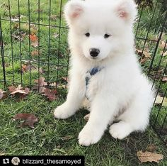 9 Samoyed Saturday Dog Samoyed Photos Who doesnt love cute fluffy dogs and are some of the cutest. Cute Fluffy Dogs, Cute Little Puppies, Cute Dogs And Puppies, Baby Dogs, Cute Baby Animals, Animals And Pets, Funny Animals, Samoyed Dogs, Cute Creatures