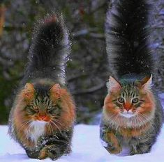 18 Maine Coon Kittens Waiting To Grow Up Into Giants Animals And Pets, Baby Animals, Funny Animals, Cute Animals, Funny Cats, Animals Images, Pretty Cats, Beautiful Cats, Animals Beautiful