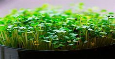 Growing microgreens in soil with sunlight, allowing them to reach the point where they are setting leaves, gives them both a nutritional and flavor edge. Garden Soil, Edible Garden, Garden Seeds, Korn, Go Green, Organic Gardening, Gardening Tips, Organic Compost, Indoor Gardening