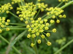 Beware of Wild Parsnip. It produces a severe rash that can take months to heal.