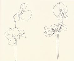 Ellsworth Kelly, Sweet Pea, 1960 – pencil on paper. Can be seen in Ellsworth Kelly: Plant Drawings, essay by John Ashbery Ellsworth Kelly, Flower Sketches, Drawing Sketches, Pencil Drawings, Drawing Flowers, Flower Drawings, Contour Drawings, Sketching, Botanical Drawings
