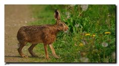 A brown hare eating a dandelion. Felder, Pinterest Blog, Hare, Kangaroo, Dandelion, Brown, Animals, Kunst, Baby Bjorn