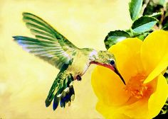 They are known as hummingbirds because of the humming sound created by their beating wings, which sometimes sounds like bees or other insects.