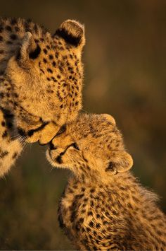 awwwww leapards (i Think) nuzziling eachother