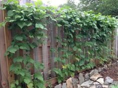 Pole beans climbing a metal fence. Did you know there are three types of climbing vegetables? Learn how to choose the right support structure for your climbing vegetables. Bean Trellis, Trellis Fence, Garden Trellis, Planting Vegetables, Growing Vegetables, Fruit Garden, Vegetable Garden, Growing Beans, Growing Green Beans Trellis