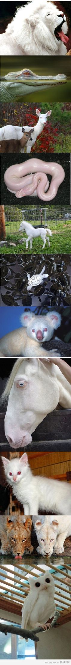 albinos!