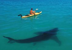 Great White Shark & Kayak Looks like Shark Week! Shark Week, Orcas, Deep Blue Sea, Tier Fotos, Mundo Animal, Ocean Life, Marine Life, Sea Creatures, Belle Photo
