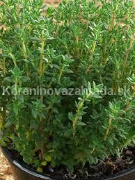 tymian rastlina - Hľadať Googlom Egypt, Ale, Plants, Ale Beer, Flora, Plant, Ales, Planting, Beer