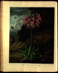 "American cowslip from Robert John Thornton's ""The Temple of Flora"" (1807)"
