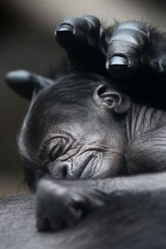 Monkeys have tails.the Great Apes do not.Gorillas, Orangutans, Chimpanzees, Bonobo's are Great Apes (there are 6 ) not Monkeys. Primates, Mammals, Cute Baby Animals, Animals And Pets, Wild Animals, Newborn Animals, Animal Babies, Strange Animals, Funny Animals