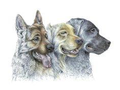 Companions (graphite pencil and watercolor) prints available #dog #dogs #germanshepard #Labrador #golden #retriever #pet #Guidedogs #watercolor #painting #graphite #art #illustration #prints #forsale #scienceillustration #science