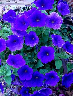 Blue wave petunias