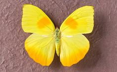 The Orange Barred Sulphur Butterfly is one that you can find all over the Americas and the Caribbean. It's very distinctive, being bright yellow with patches of orange marking both forewings and hindwings. Females tend to be bigger and darker than their male counterparts and unusually, just like the adult butterflies, the caterpillars also have bright yellow bodies segmented by dark stripes