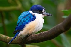 Blue and white kingfisher Pretty Birds, Beautiful Birds, Names Of Birds, Kingfisher Bird, Common Kingfisher, Tiny Bird, Owl Bird, Bird Art, Australian Birds